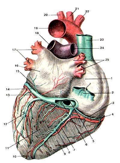 коронарное ребро где находится на пенисе фото
